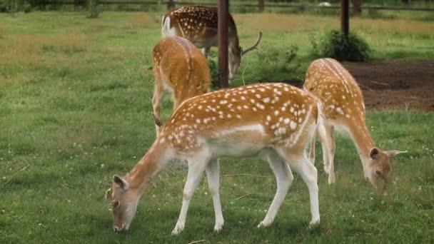 Roztomilí padlí jeleni se pasou v ohradě a jedí trávu