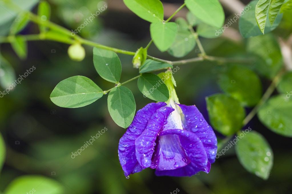 Butterfly pea flower medicinal herbs to treat disease and certain types of food coloring to make purple toxic safe.