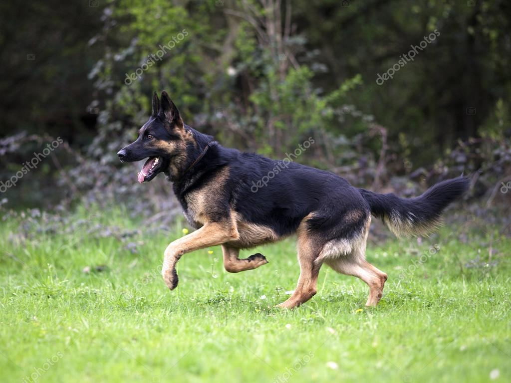 German Shepherd Run Free On Meadow Stock Photo C Anjajuli 106822382