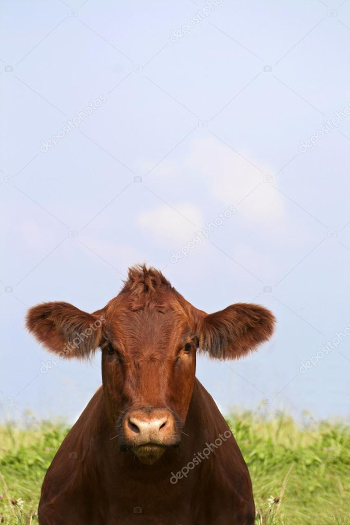 Cow looking at the camera
