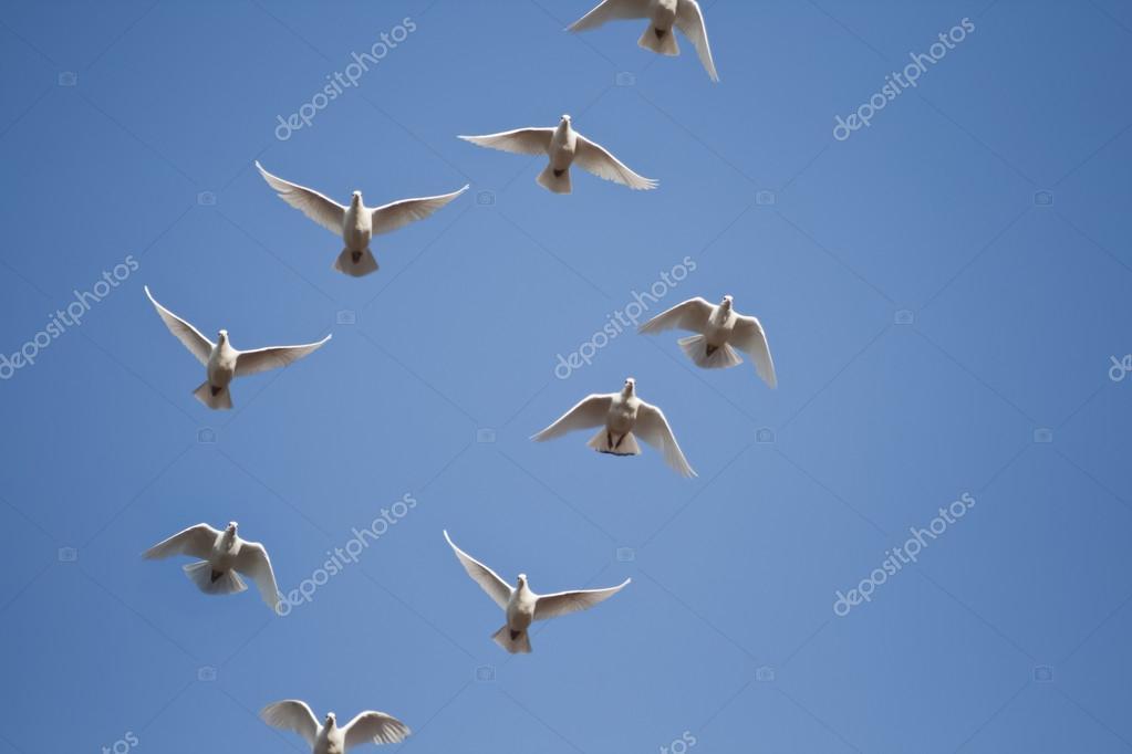 Imágenes Palomas Blancas Volando Palomas Blancas Vuelan Foto De