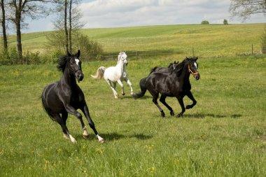 Horses galopping free