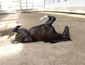 Fotografie Funny Horse lie on the back