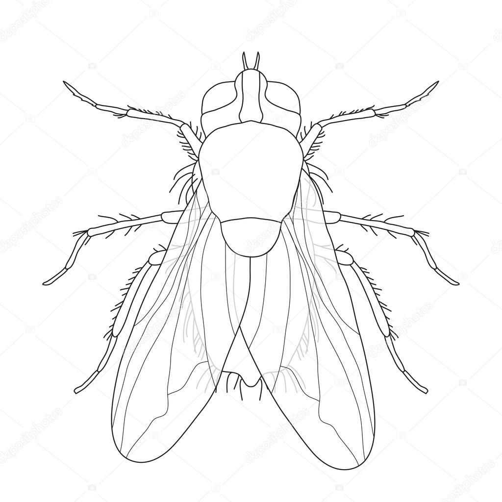 volar. Musca domestica... Insectos. una mosca realista. silueta de ...