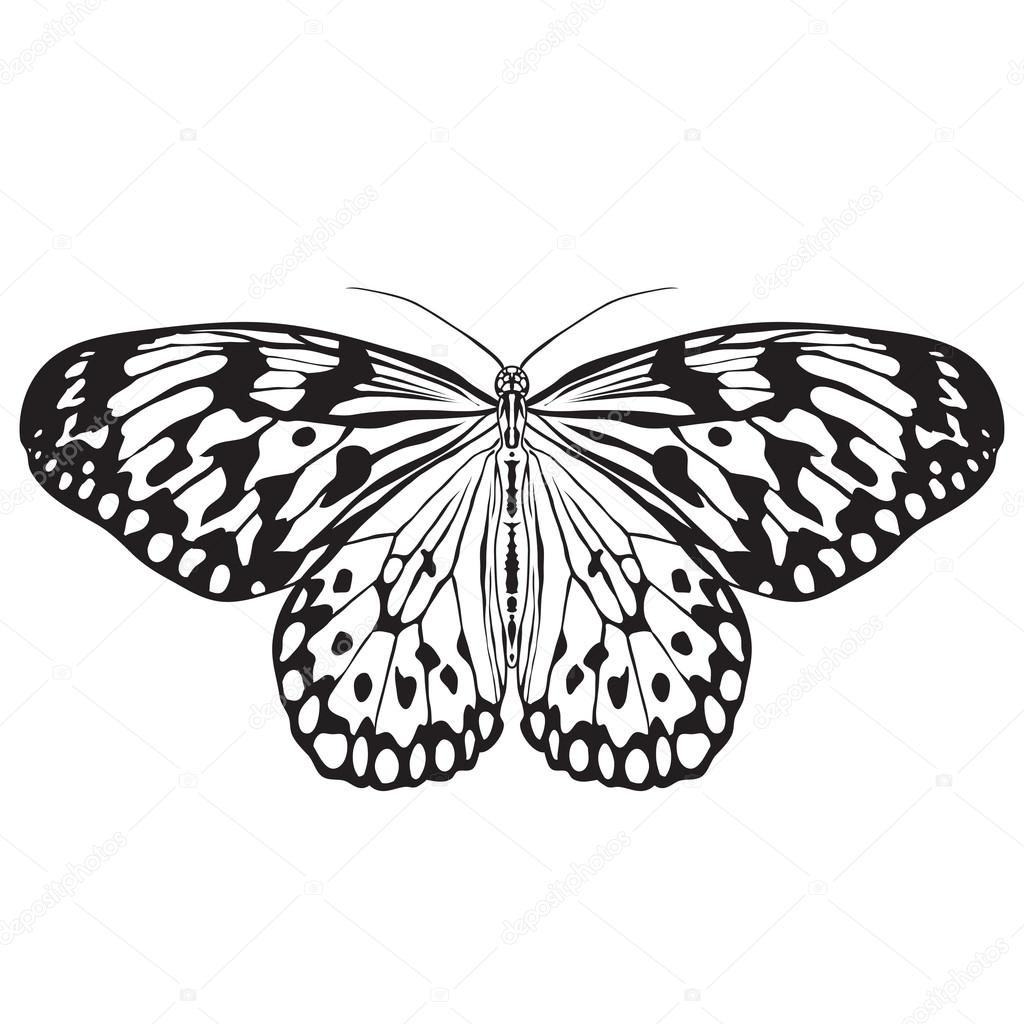 Leuconoe Di Farfalla Schizzo Della Farfalla Farfalla Isolata Su