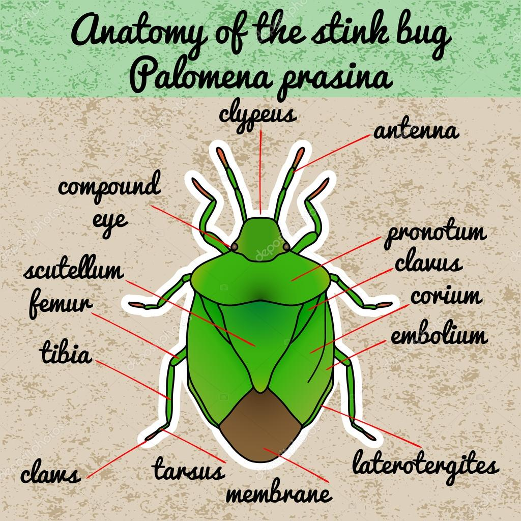 Insect Anatomy Shield Bug Palomena Prasina Sketch Of Shield Bug