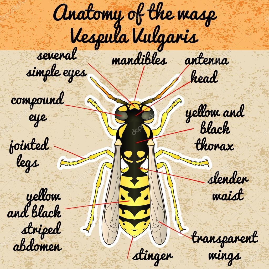 Anatomía de insectos. Avispa. Vespula Vulgaris. Dibujo de avispa ...