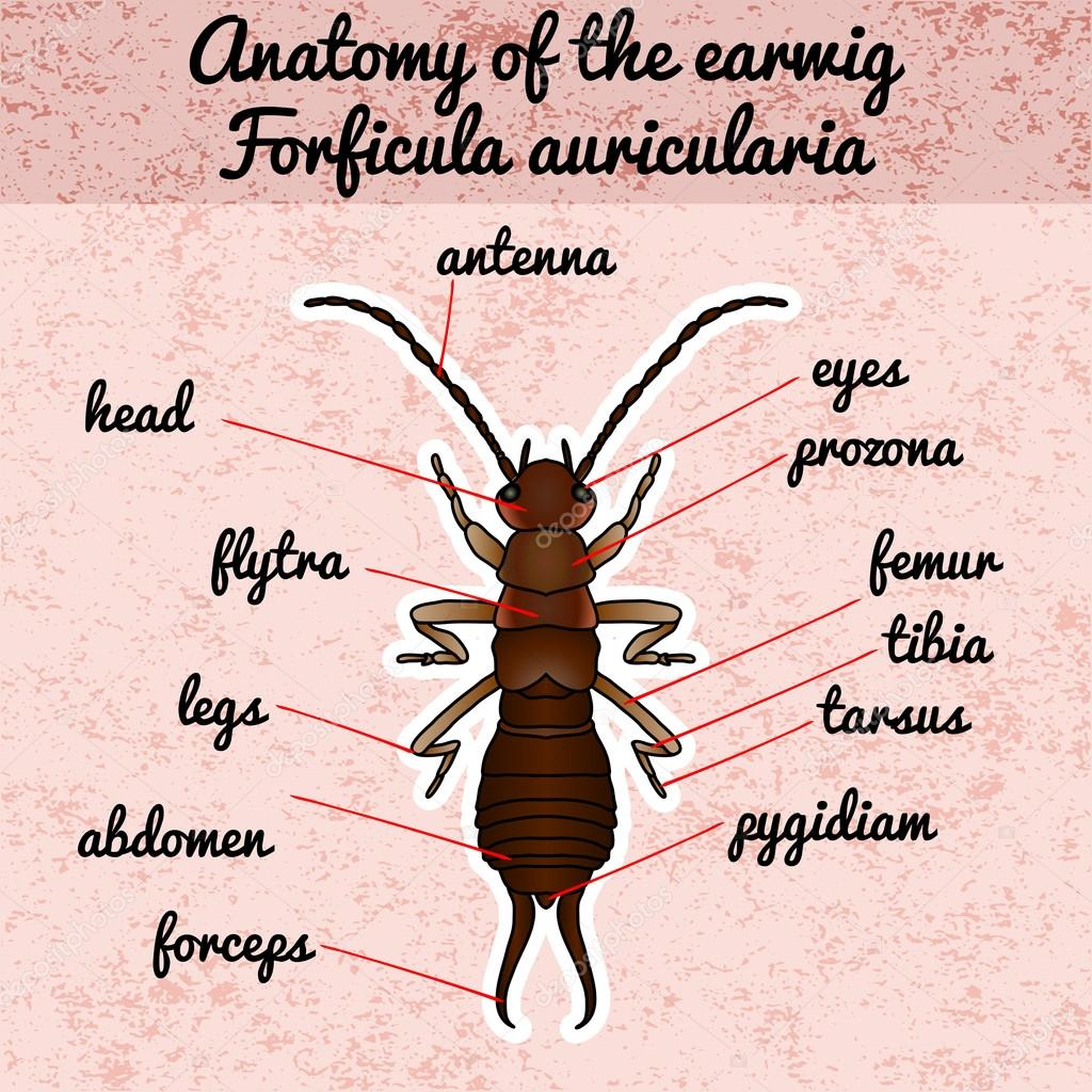 Anatomía de insectos. Etiqueta engomada Forficula auricularia ...