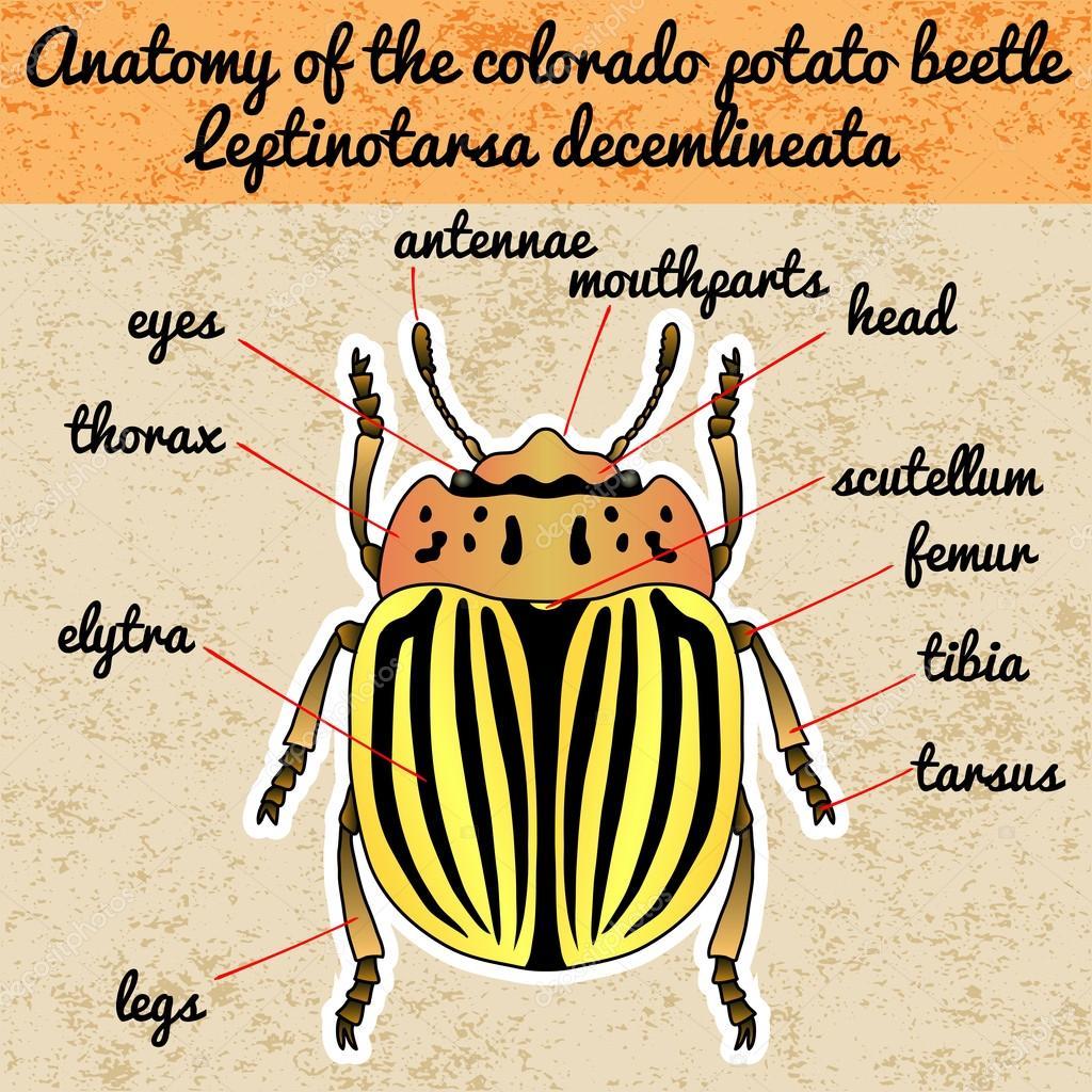 Anatomía de insectos. Escarabajo de patata de colorado de la ...