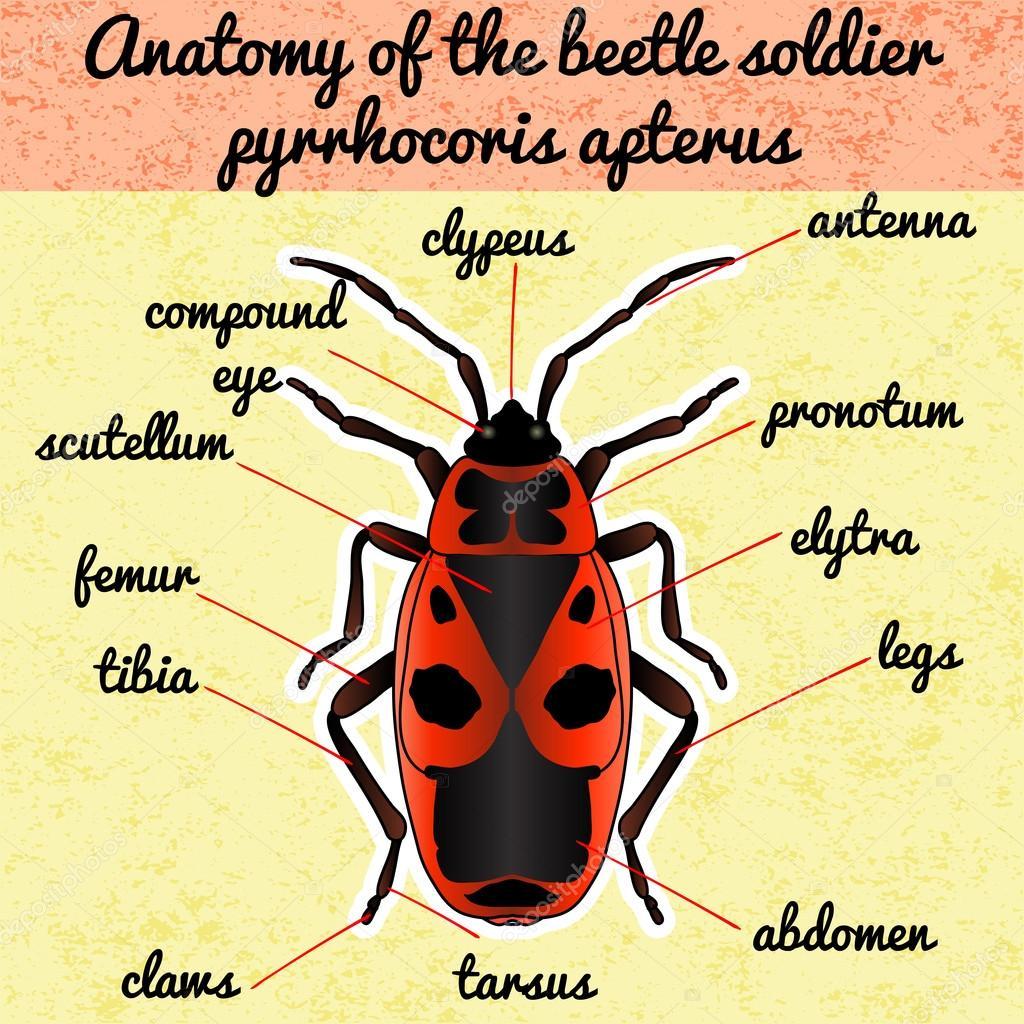 Anatomía de insectos. Etiqueta engomada Pyrrhocoris apterus ...
