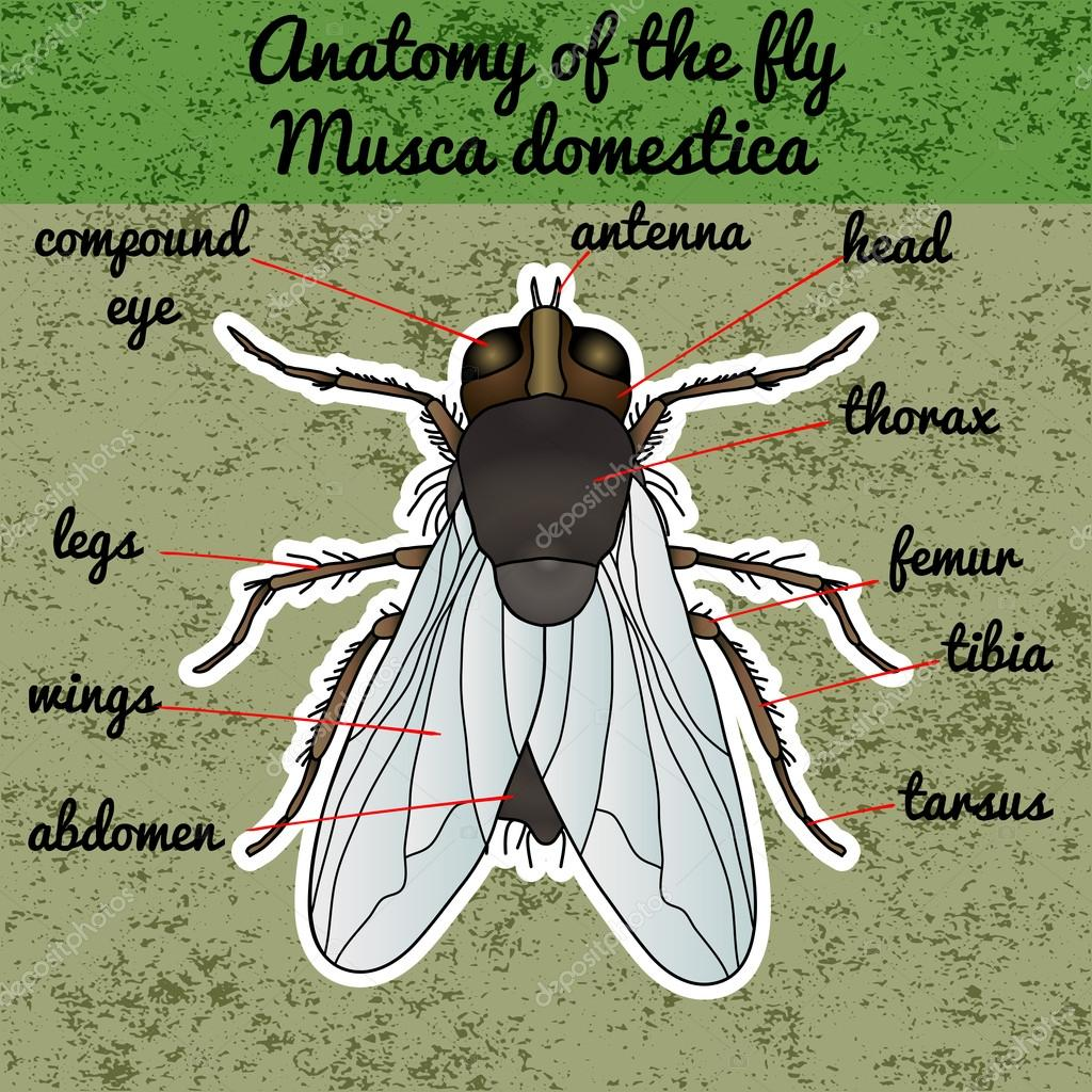 Anatomía de insectos. Mosca de la etiqueta engomada. Musca domestica ...