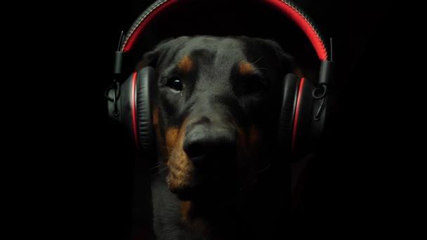 Ernsthafter Dobermann hört Musik
