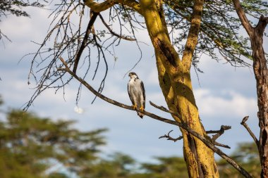 African Fish Eagle on a tree at Lake Naivasha, Kenya