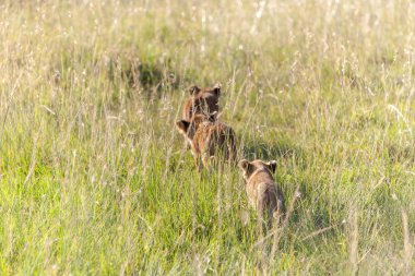 lion cubs on the plains Kenya