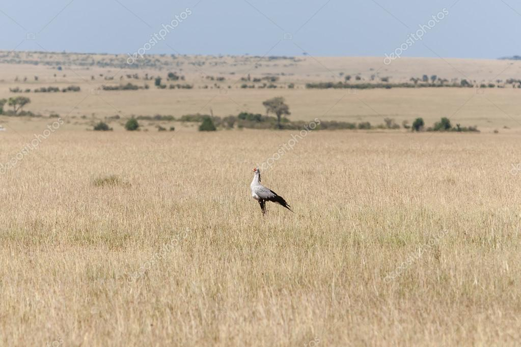 Secretarybird or secretary bird in the savannah of Kenya,  Africa