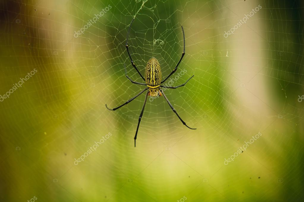 female Golden Web Spider