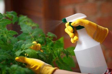 Close up shot of a gardener spraying water