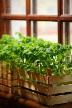 Green tomato seedlings planted in boxes