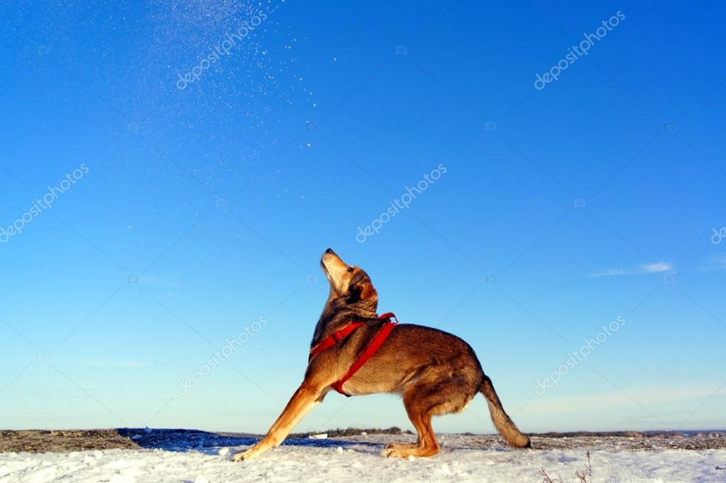 Brown dog playing in the snow