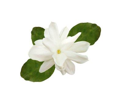 """Картина, постер, плакат, фотообои """"цветок самбака белого жасмина с зелеными листьями на белом фоне. цветы розы модульные города"""", артикул 462821590"""