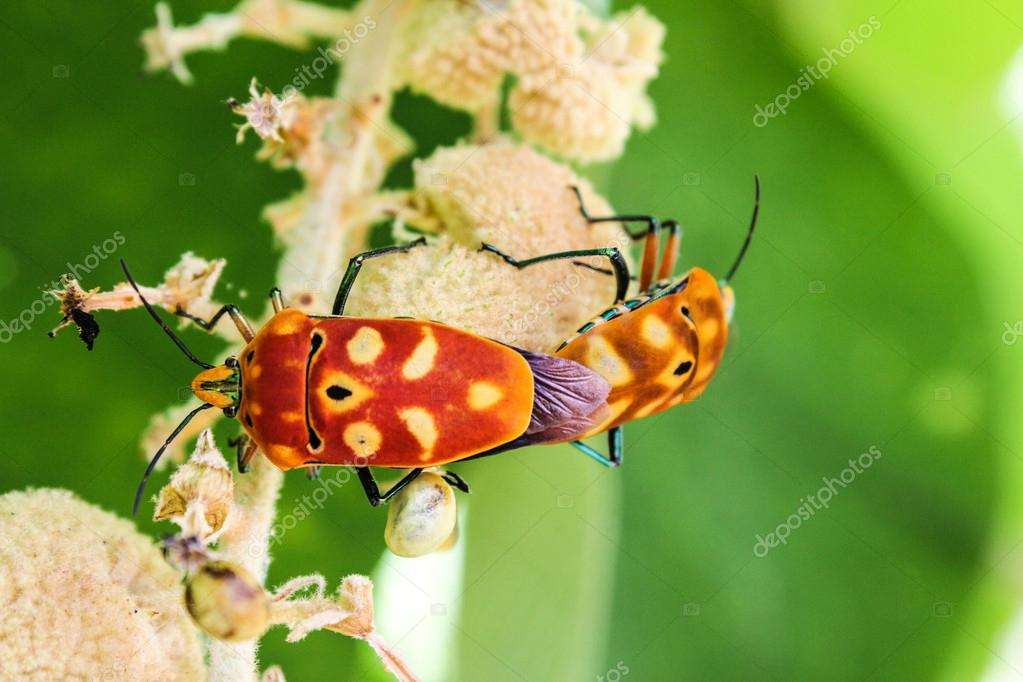 Sex of shield bugs — Stock Photo