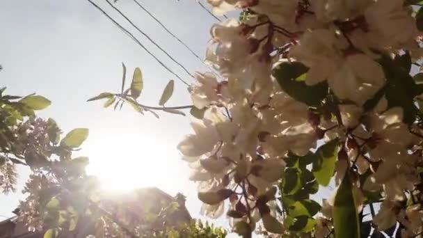 Vrchní a postranní díl brouka v kvetoucí akát, větru a slunce přes kvetoucí květiny bílé akácie svítí na slunci, větru, chytání voňavé hrozny bílých akácie