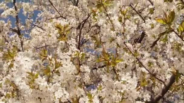 Blossoming fruit trees, cherry and flying bees around the flowers the sun through the cherry flowers blue sky through the cherry flowers