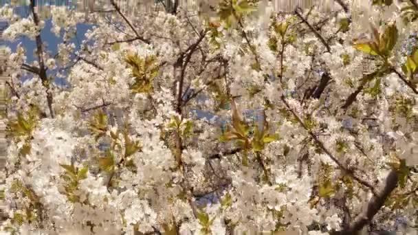 Kvetoucí ovocné stromy, třešeň a létající včely kolem květiny slunce přes Třešňové květy modré oblohy Třešňové květy