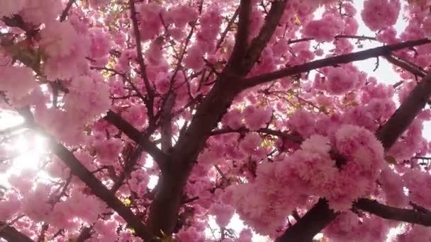 Sakura, krásné růžové jarní květ