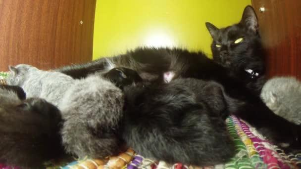 černá kočka mléko krmení šest novorozených koťat detail střelba, malá koťata konzumní mléko od matky bradavky kočky