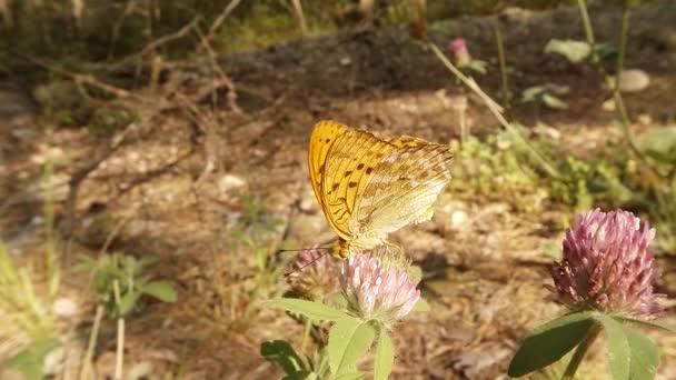 Motýl pije nektar růžového jetele v letním lese, detailní záběr