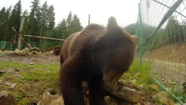 medvěd hnědý v blízkosti kovový plot otočí kameny a při pohledu do objektivu fotoaparátu