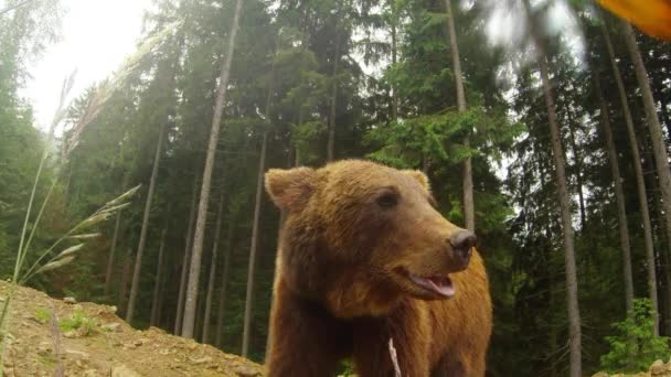 barna medve felhős időben a sziklás szélén egy fenyőerdő és a hegyi sárga virág pózol a kamera