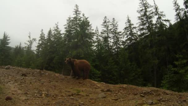Medvěd hnědý za oblačného počasí na skalnatém okraji borového lesa obecný plán pózuje na kameru