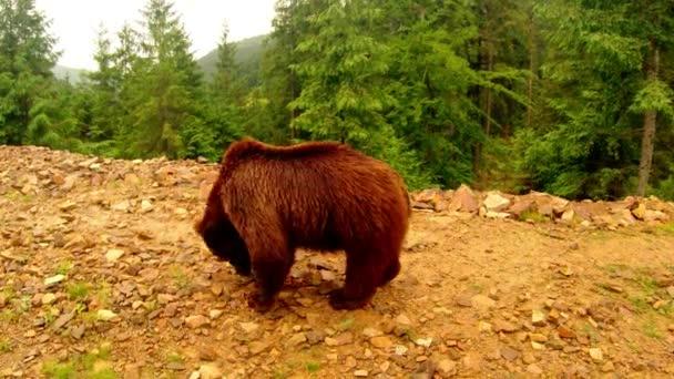 Medvěd hnědý na procházce něco hledá v kamenech