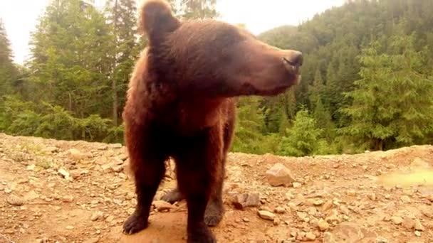 Medvěd hnědý stojí před kamerou na hromadě špíny v lese pod malým deštěm