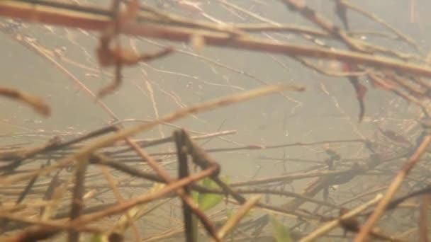 Tadpole - žáby v malých mokřinách horská jezera zblízka v jezírku pramenité vody loňské listy, větve, zelené výhonky rostlin