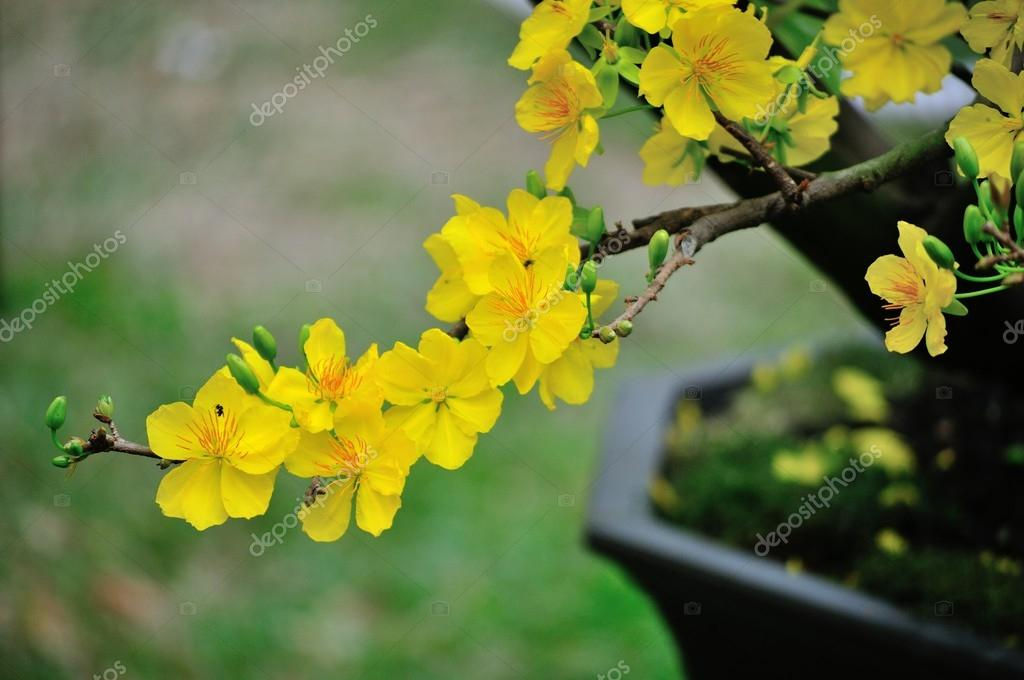 Yellow Mickey Mouse Plant