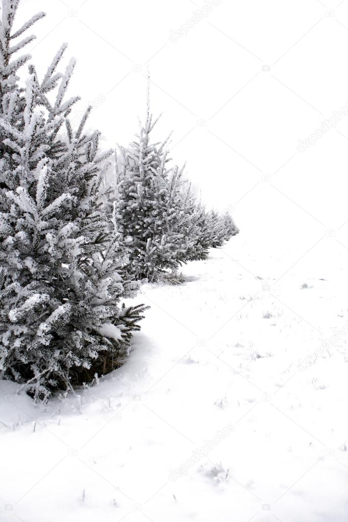 christmas tree in hoarfrost against white snow stock photo