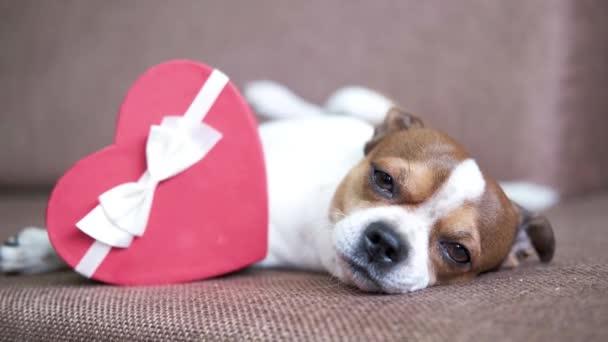 Chihuahua kutya szívajándékdobozzal. Valentine kutya vásárlás.