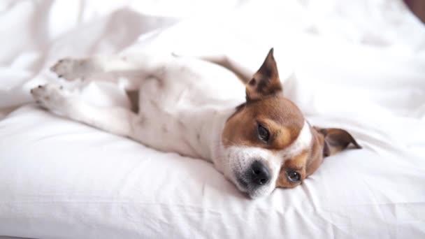 chihuahua kutya alszik, pihenni és feküdt a fehér ágyban.