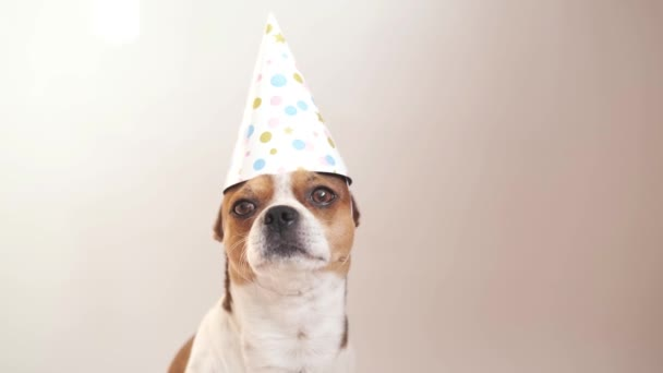 Chihuahua dog with big brown eyes. Birthday dog in party hat.