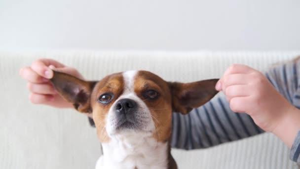 4k.Hände mit niedlichen kleinen Chihuahua-Hundeohren, die in die Kamera schauen.