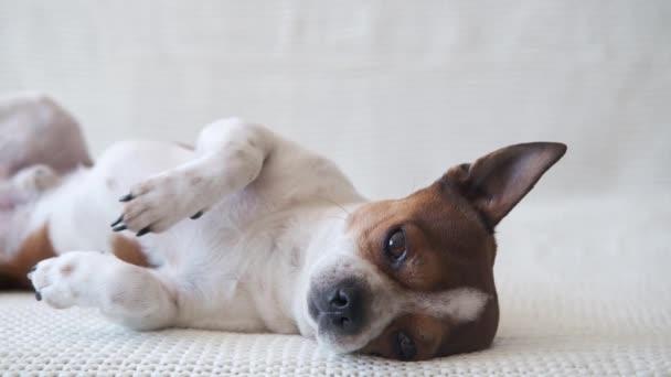 Kis chihuahua kutya néz kamera és feküdt a kanapén.