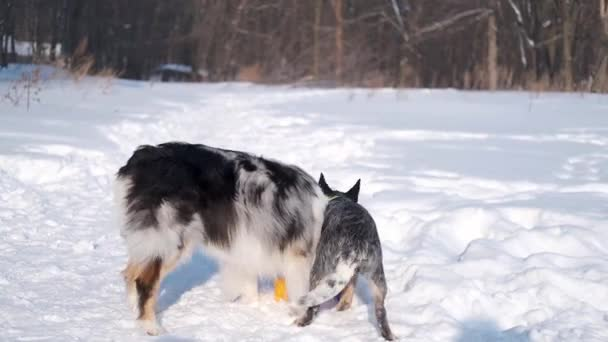 young australian shepherd merle playing with cattle Dog in winter forest