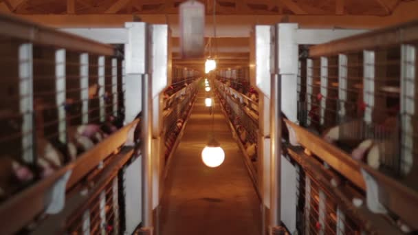 Chicken eggs in factory poultry production