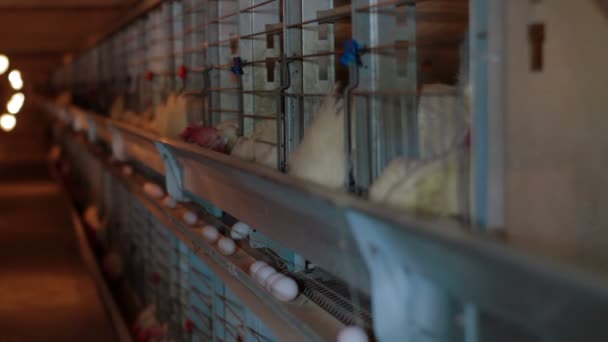 Chicken eggs eating in factory