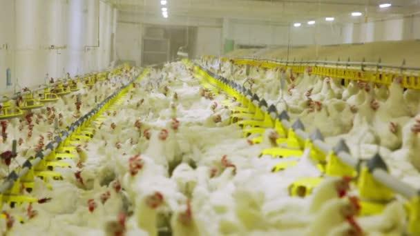 Kuřecí farmy drůbežářské produkce