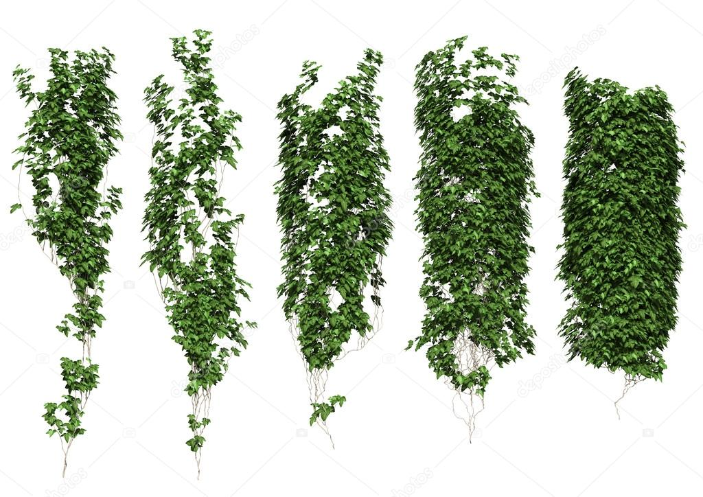 ivy leaves isolated on a white background.