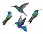 Kolibřík (colibri) ptáků sada
